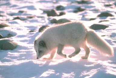 Tundra Arctic Fox In Summer Liska's EncycVulpedia:...