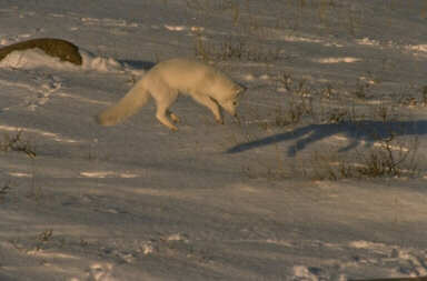 Arctic Fox Pouncing