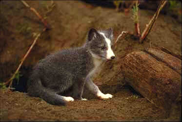 Arctic Fox Kit