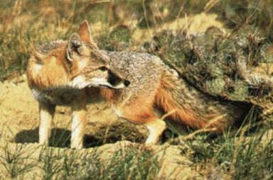 Liska S Encycvulpedia Kit Amp Swift Foxes General Description