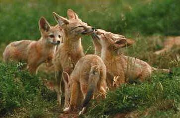 Liska 180 S Encycvulpedia Kit Amp Swift Foxes Life Cycle