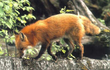 Red fox on the scent.